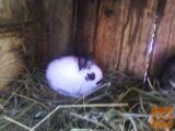hišni zajčki