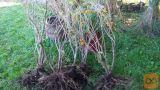 Rodni grmi sadika sadike črni ribez