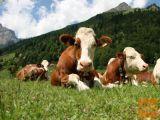Kupim pitane krave in telice za zakol. Plačilo takoj