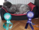 Lagotto Romagnolo štenci za prodaju