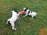 Boston terrier beli mladički   500€