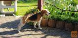 Podarim psa pasme Beagle