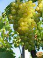 Prodam grozdje