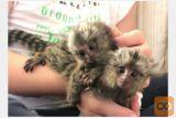 marmoset opice za posvojitev.