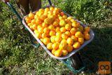 mandarine dostava iz Neretve
