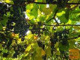 Domače grozdje